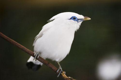 (Leucopsar rothschildi)