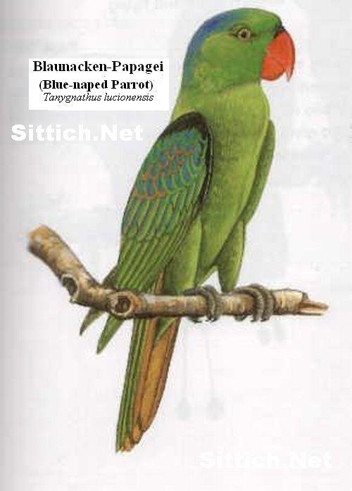 Blaunacken-Papagei